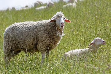 Bild mit Tiere,Tier,Schafe,Weide,Herde,Schaf,Lamm,Lämmer