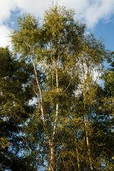 Bild mit Natur, Landschaften, Bäume, Sonne, Wald, Baum, Birke, Blätter, Landschaft, Birkenwald, Gras, Blatt, Ast, Umwelt, Rinde, birkenbaum, Birkenwäldchen