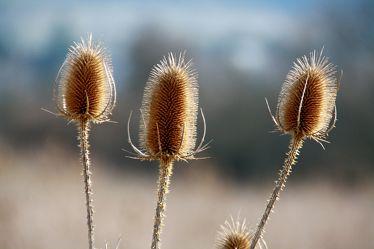 Bild mit Pflanzen,Blumen,Disteln,Blume,Pflanze,Distel