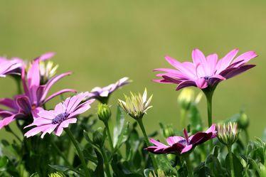 Bild mit Natur, Blumen, Astern, Blume, Wiese, Blüten, Fotografien Blumen und Pflanzen, blüte, Wiesen, blumenwiese