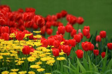 Bild mit Pflanzen, Blumen, Blume, Pflanze, Tulpe, Tulpen, Wiese, Fotografien, garten, Wiesen