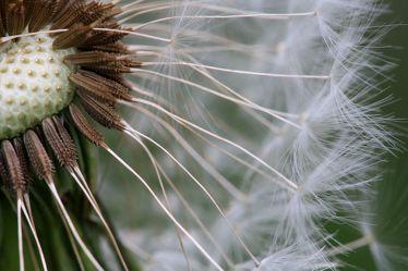 Bild mit Pflanzen, Blumen, Frühling, Blume, Pflanze, Löwenzahn, Pusteblume, Blüten, Pusteblumen, Fotografien, blüte