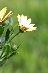 Bild mit Pflanzen, Blumen, Blume, Pflanze, Blüten, blüte, Bornholmmargerite, Bornholmer Margerite
