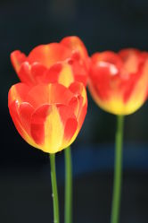 Tulpen im Gegenlicht