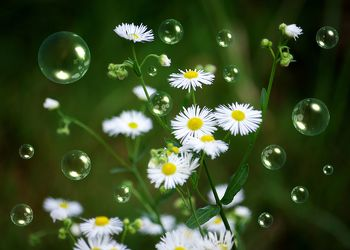 Bild mit Natur, Blumen, Blume, Seifenblasen, Seifenblase, Margeriten, Margerite, gänseblümchen, Blüten
