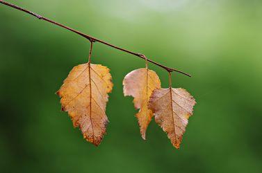 Bild mit Natur, Bäume, Herbst, Birken, Baum, Birke, Blätter, Birkenblätter, Blatt, Birkenblatt