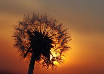 Bild mit Natur, Pflanzen, Blumen, Sonnenuntergang, Sonnenaufgang, Blume, Pflanze, Löwenzahn, Pusteblume, Pusteblumen