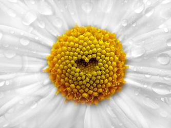 Bild mit Blumen, Astern, Blume, Makro, romantik, Wassertropfen, Wasserperlen, Tropfen, Blüten, blüte, Pollen, Tau, Liebe, Glück, ASTER