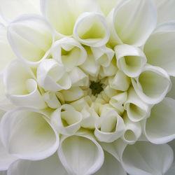 Bild mit Blumen, Astern, Dahlien, Blume, Makro, Blüten, blüte, Dahlie, dahlienblüte, ASTER