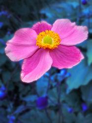 Bild mit Natur, Pflanzen, Blumen, Rosa, Blume, Pflanze, Makro, Margerite, Blüten, anemonen, blüte, pink, anemone