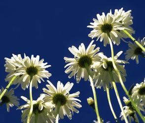 Bild mit Blumen, Sommer, Blume, Makro, Margeriten, Margerite, Blüten, garten, blüte