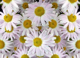 Bild mit Blumen, Frühling, Blume, Makro, Wasserperlen, Margeriten, Margerite, Blüten, blüte