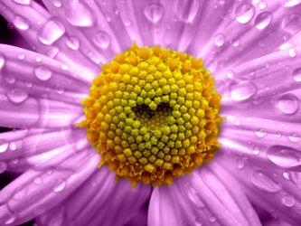 Bild mit Natur, Pflanzen, Blumen, Astern, Herzen, Blume, Pflanze, Makro, romantik, Blüten, blüte, Herz, Liebe, Love, ASTER