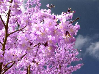Bild mit Natur, Blumen, Lila, Violett, Frühling, Blätter, Blüten, Mandelblüten, blüte