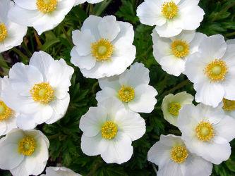 Bild mit Blumen, Frühling, Blume, Margerite, Blüten, anemonen, Gartenblumen, garten, blüte, anemone, Mageriten