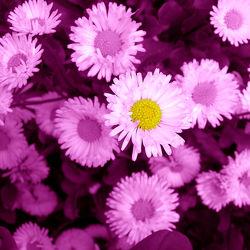 Bild mit Pflanzen,Blumen,Lila,Blume,Pflanze,Blüten,Gartenblumen,pink