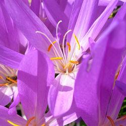 Bild mit Pflanzen, Blumen, Lila, Blume, Gartenblumen, Krokusse, Krokus, krokusblüte