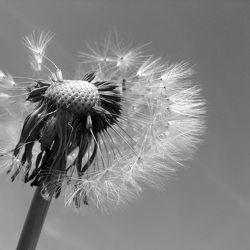 Bild mit Pflanzen, Blumen, Blume, Pflanze, Pusteblume, Pusteblumen, Gartenblumen, schwarz weiß, SW