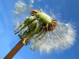 Bild mit Pflanzen, Blumen, Blume, Pflanze, Löwenzahn, Pusteblume, Pusteblumen, Gartenblumen