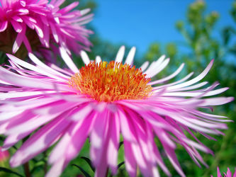 Bild mit Pflanzen, Blumen, Astern, Blume, Pflanze, Blüten, Gartenblumen, blüte, pink, ASTER