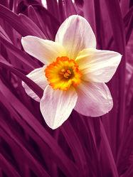Bild mit Pflanzen,Blumen,Rosa,Lila,Blume,Pflanze,Blüten,Gartenblumen,blüte,pink,narzisse,narzissen