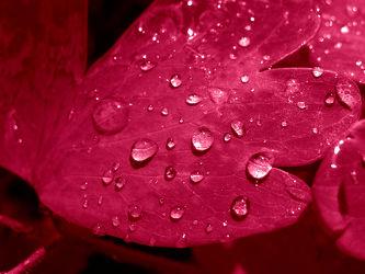 rotes Blatt mit Wassertropfen - Wasser Perlen