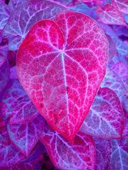 Bild mit Pflanzen,Lila,Blätter,Pflanze,Blatt,Abstrakt,pink,herzblatt