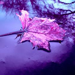 Bild mit Natur,Wasser,Lila,Blätter,Blatt,Abstrakt,pink,Baumblatt,herbstblatt