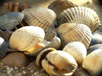 Bild mit Strand, Meer, Muschel, Muscheln, Meeresmuschel, meeresmuscheln, Muschelstrand
