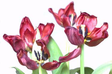 Bild mit Tulpen