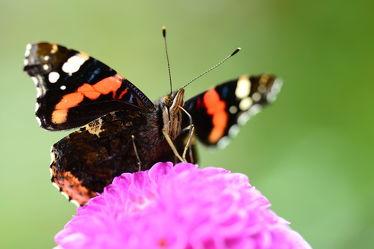 Bild mit Rot, Insekten, Schwarz, Schmetterlinge, Schmetterling, blüte, Tagfalter, Ponpondahlien, Admiral, Vanessa atalanta, Dahlie