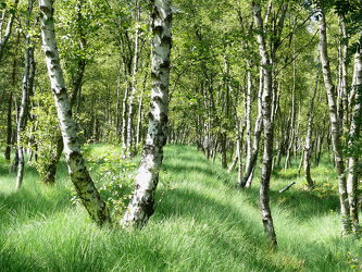 Bild mit Gräser, Landschaften, Bäume, Wälder, Birken, Wald, Baum, Birke, Landschaft, Gras, Moor, mystisch, Sumpfig, Lebensgefahr
