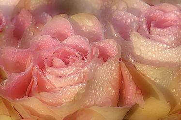 Bild mit Rosen,Regentropfen,Schönheit,Extras,Tauperlen,Edelrosen,Anmut,Tränen,Freude,Leid,Betrübnis