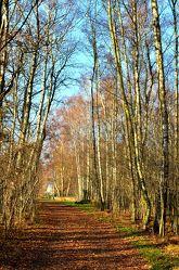 Bild mit Natur, Landschaften, Bäume, Herbst, Birken, Sommer, Sonne, Baum, Birke, Panorama, Weg, Blätter, Landschaft, Landschaft, Gras, Ruhe, Herbstblätter, Allee, Wandern, birkenallee, Laub, Einsamkeit, Einsam, herbstfarben