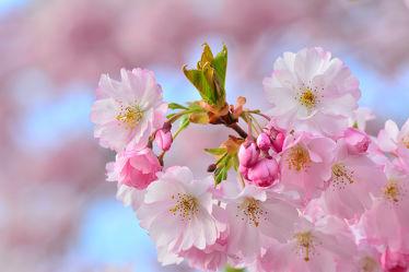 Bild mit Rosa, Frühling, Frühling, Blüten, garten, nahaufnahme, frühjahr, Japanische_Zierkirsche