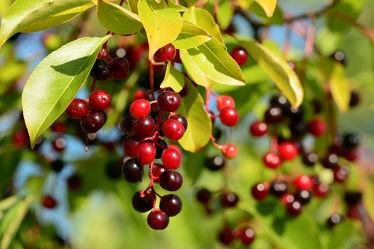 Bild mit Früchte, Beeren, Frucht, Küchenbild, Strauch, Stillleben, Küchenbilder, KITCHEN, frisch, Küche, Wildfrüchte, Kochbild, Beere