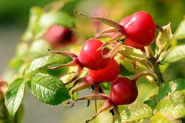 Bild mit Grün,Früchte,Rot,Herbst,Beeren,Vitamine,Saft,Hagebutten,Heckenrose,Marmeladen