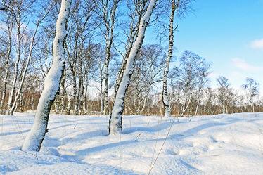 Bild mit Pflanzen,Gräser,Himmel,Schnee,Weiß,Birken,Blau,Felder,Schönheit,Winterzeit,Wiesen,Moor,Hochmoor,Unterholz,Lebensgefahr,Tiefmoor,Vorsicht,Tücken,Sumpfmoor,Schneefelder,Grasbüschel,Schneefläche,Tauwetter,Regenschauer