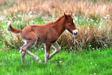 Bild mit Säugetiere, Pferde, Kinderzimmer, Säugetier, Pferd, Weide, Fohlen, Jungtier, Gehversuche, Laufen, Sprinten