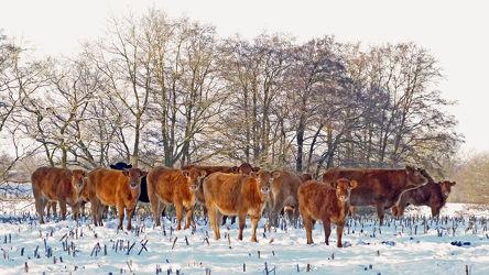 Bild mit Säugetiere,Bäume,Winter,Schnee,Sträucher,Winterzeit,Frost,Stoppelfeld,Fleischrinder,Nutztiere,Winterweidehaltung,Limousin_Rind