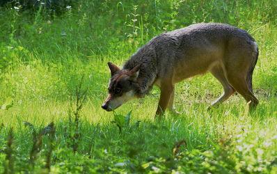 Bild mit Säugetiere, Sonne, Lichtung, Gras, Nahrung, Waldrand, Licht, Hunger, Fressen, Tierpark_Eekholt, Wolf, Wölfe, Fährtensucher, Schleichen