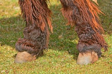 Bild mit Säugetiere, Grün, Füße, Braun, Gras, Felder, Fell, Rasen, Poitou_Esel, Trittfest, Hufen, Haarbeine, Strähnen, Fußtritt, Tritte