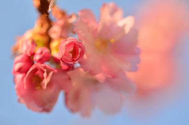 Bild mit Rosa, Frühling, Frühling, Makro, Blüten, Zweige, Knospe, Zierkirschenblütenzweig, Zierkirsche, Weißrosa