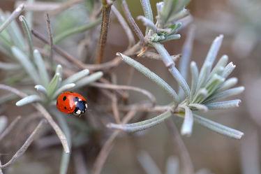 Bild mit Frühling, Rot, Insekten, Lavendel, Schwarz, Marienkäfer, garten, frühjahr, Siebenpunktmarienkäfer, Frühlingserwachen, Silber