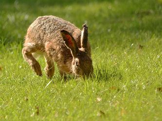 Der hoppelnde Hase