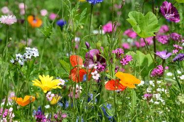 Bild mit Gelb,Grün,Blumen,Blumen,Rot,Blau,Mohn,Felder,Wildblumen,garten,Wiesen,Bauerngärten