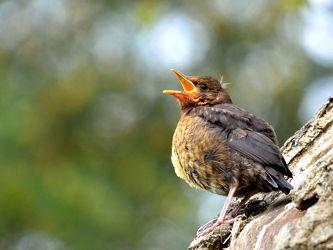 Bild mit Wälder, Parks, Vögel, Vögel, garten, Amsel, Jungtier, Standvogel, Turdus_merula