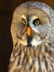 Bild mit Vögel, Uhu, Blick, Nacht, Porträt, Kleingetier, Nachtvogel, Nachtjäger
