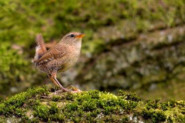 Bild mit Vögel, Zaunkönig, Troglodytes_troglodytes