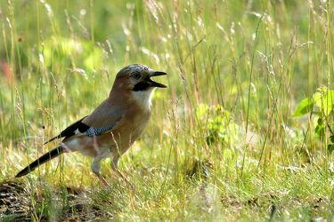 Bild mit Wälder, Vögel, Rabenvögel, Eichelhäher, Garrulus_glandarius
